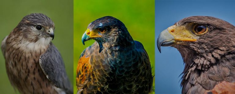 Falcons: Their Types, Speed, Diet, Species & Facts