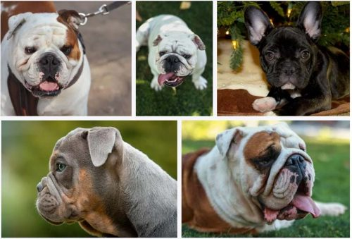 Why English Bulldogs Cost So Much?