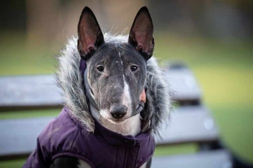 Best Dog Food For Bull Terriers