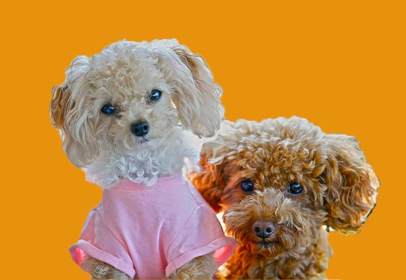 8 Best Store-Bought Food For Your Toy Poodles