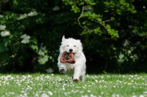 Why Do Dogs Shake Toys?