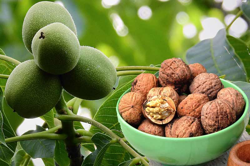 How To Sprout The Walnuts?