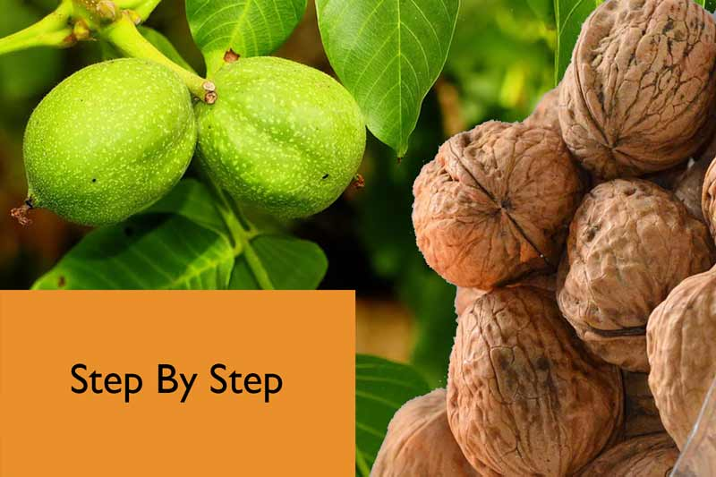How to sprout the walnuts? - All You Need To Know