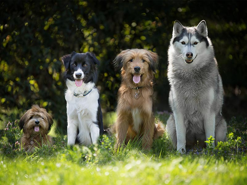 Other dogs with Border Collies