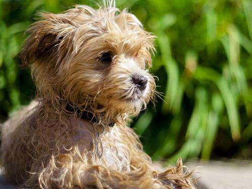 Best Dog Food For Maltipoos Growth