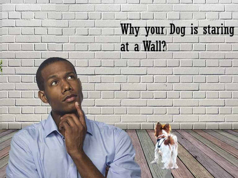 Why Does My Dog Keep Staring At The Wall?